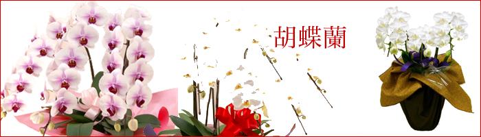 胡蝶蘭の在庫数地域一番!スピード出荷体制で全国翌日配達も可能です。