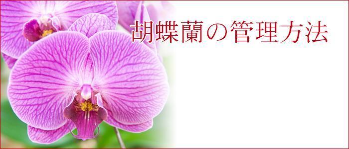 胡蝶蘭の管理方法